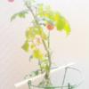 冬のトマトの寒さ対策。水耕栽培キット・ポットランド観察記(8)