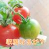 春を迎え、トマト2回めの収穫なるか?水耕栽培キット・ポットランド観察記(9)